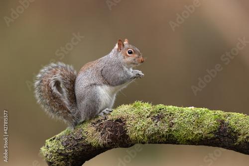 Fotografiet An Eastern Grey Squirrel