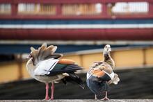 View Of Egyptian Geese Perching On Railing. Metropolitan Ducks