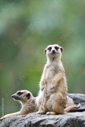 Fototapeta premium Meerkat Sitting On Rock