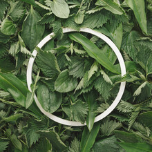 Aestethic Creative Background Made Of Nettle, Dandelion, Wild Garlic And Plantain Leaves And White, Circular Frame. Spring Harvesting Edible Plants Concept. Natural Flat Lay With Round Copy Space.