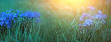Delicate Blue Flowers. Spring Flowers