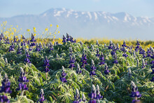 A Field Of Blooming Flowers Of Purple Lupins.