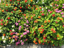 Lantana Camara Bushes With Colorful Flowers Bloom In A Flower Bed In The Garden.