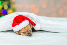 A Small Red Toy Terrier Puppy Is Sleeping With His Head On A Pillow In A Santa Hat Under A White Blanket Against The Background Of A Christmas Tree
