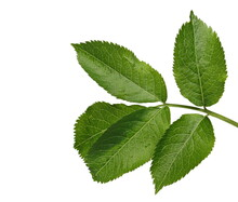 Young Elder, Elderberry Plant Twig With Leaves In Spring, Isolated On White Background With Clipping Path
