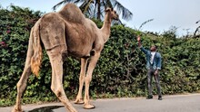 Full Length Of Man Standing By Camel By Plants