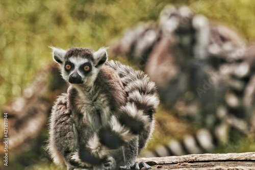 Fototapeta premium Lemurs Enjoying Sunny Day