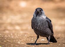 Black Bird On The Ground