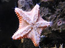 Underside Of Starfish At Aquarium Exhibit
