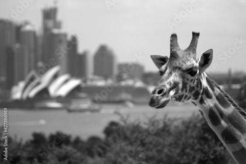 Fotografie, Obraz Giraffe In A City