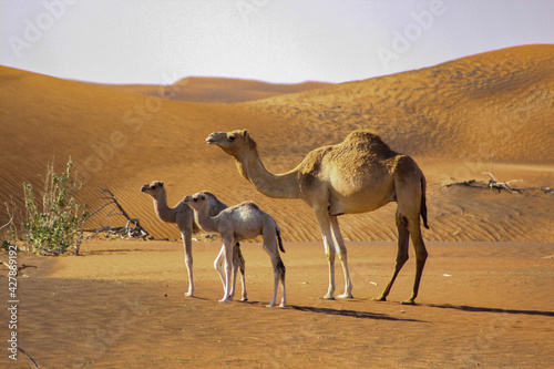 Cuadros en Lienzo Camels, Including 2 Baby Camels, In A Desert