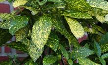 Selective Focus Shot Of Fresh Foliage Of Japanese Laurel