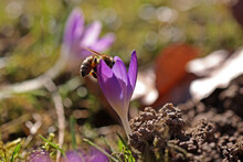 A Bee Collects Nectar In A Crocus Flower