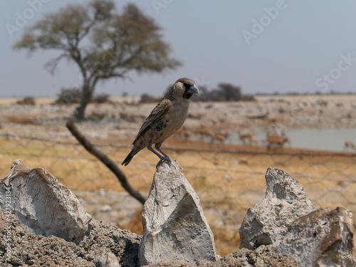 Siedelweber Settler Bird Perching On Rock Fototapet