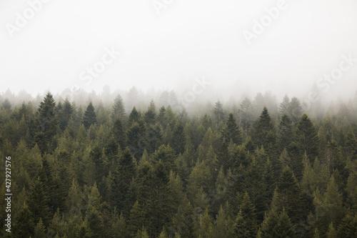 Fototapeta arboles entre la niebla