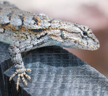 Eastern Fence Lizard (Sceloporus Undulatus) Close Up Of Face And Head, Spiny Scales, Slight Blue Under Neck,  Eye Detail, Looking At Camera, On Wooden Barrel Edge