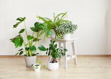 Houseplants Fittonia, Monstera, Nephrolepis And Ficus Microcarpa Ginseng In White Flowerpots