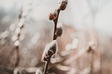 Willow Catkins In Spring