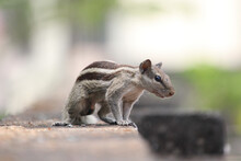 Indian Palm Squirrel  On The Roof Top And Looking For His Food.
