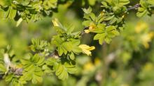 Caragana Arborescens | Caraganier De Sibérie Ou Acacia Jaune. Arbuste épineux à Feuilles Pennées, Ovales Et A Fleurs Jaunes Printanière