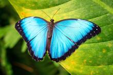Blue Morpho Butterfly (Morpho Menelaus) Close Up, Mindo, Ecuador.