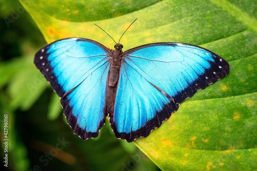 Fototapeta Blue Morpho butterfly (Morpho menelaus) close up, Mindo, Ecuador.