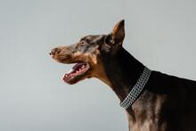 Doberman Dog In Chain Collar Isolated On Grey