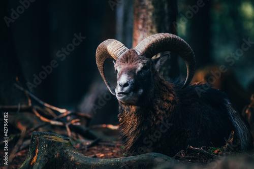 sheep in the mountains - fototapety na wymiar