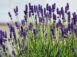 Fototapeta Kwiaty - lawenda wąskolistna - lavender - Lavandula angustifolia