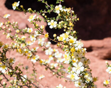 Wildflowers Blooming In The Red Rock Desert In Springtime - Arches National Park, Utah, USA