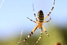 Araignée Argiope Frelon Sur Sa Toile En Contre Jour