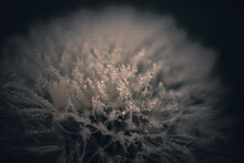 Selective Focus Shot Of A Fluffy Dandelion With Water Droplets