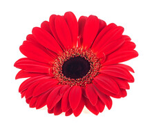 Red Gerbera Blossom Isolated On A White Background