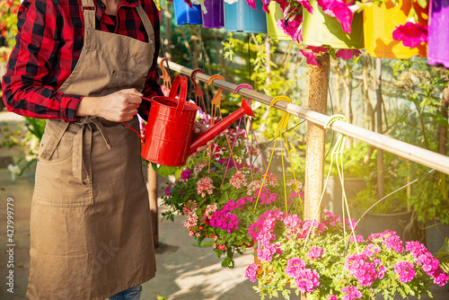 Fototapeta young brunette girl horticulturist in a greenhouse of plants watering with a can