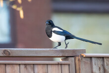 Magpie On The Fence