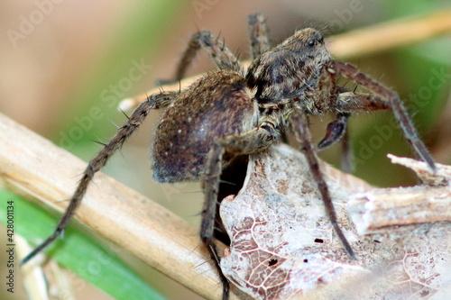Billede på lærred araignée loup en hiver