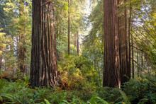 Closeup Shot Of A Redwood Forest In Northern California, USA