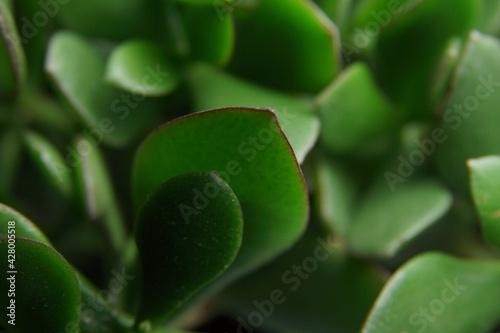Obraz liście kwiat doniczkowy zielone makro - fototapety do salonu