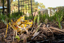 A Ground Level Front/side View Of A Pair Of  Brightly Colored Eastern Lubber Grasshoppers (Romalea Guttata) Mating On The Ground In A Suburban Backyard, Florida, USA.