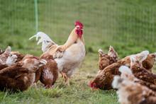 Hahn Und Legehennen Am Hühnerwagen
