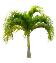 Cut Out Palm Tree. Green Tree Isolated On White Background. Coconut Tree Cutout. High Quality Image For Professional Composition.
