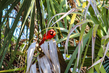 Red Male Cardinal Perched In A Palm Tree.