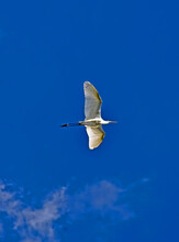 White Heron Aka Egret Or Aigrette Flying In The Blue Sky With Clouds, Albino In Flight With Wide Wings,