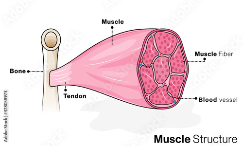 Obraz na plátně anatomy of muscle cross section.