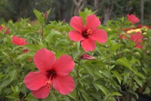 Cambodia. Hibiscus Rosa-sinensis, Known Colloquially As Chinese Hibiscus Is A Species Of Tropical Hibiscus, A Flowering Plant In The Hibisceae Tribe Of The Family Malvaceae. Siem Reap Province.