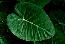 Closeup Of Dark Green Leaves Of Bon Leaf Or Elephant Ear (Colocasia Esculenta (L.) Schott). Details Of The Leaves In Nature Closeup. Top View.