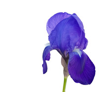 Lily Purple Isolated In White Background One Easter Spring Background