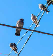 Doves On Electrical Wires