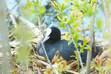 Coot Sitting At Reed Nest On Water. Outdoor Water Scenery At Sunset Time.