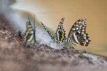 Citrus Swallowtail Butterflies Drinking From A Muddy Pool